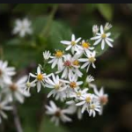 Aster small white wilfflower